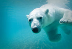 Polar Bear. Shot at the Metro Toronto Zoo, Ontario, Canada Royalty Free Stock Image