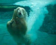 Polar bear. A polar bear playing underwater stock images