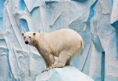 Polar bear. In a zoo. Novosibirsk zoo Royalty Free Stock Images