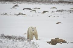 Polar bear. On snow. A face-to-face kind royalty free stock image
