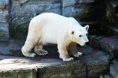 Polar bear Royalty Free Stock Photos
