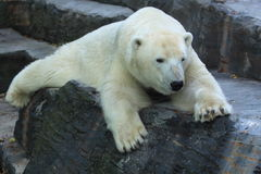 Polar bear. The polar bear on the rock stock image