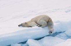 Free Polar Bear Stock Images - 21564
