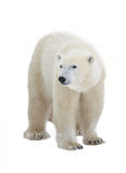 Polar bear. Isolated on the white background