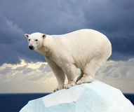Free Polar Bear Royalty Free Stock Photography - 22036467