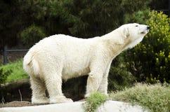 Polar Bear. A polar bear stretches like the bear on the klondike bar Stock Photo