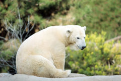 Polar bear. In the zoo Royalty Free Stock Photography