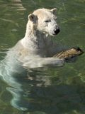 Polar bear. Swimming in the water Royalty Free Stock Image