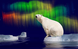 Polar bear. In Arctic on ice flow and polar light stock images