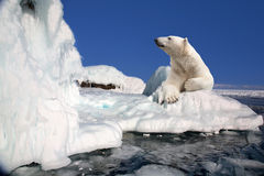 Polar bear. Standing on the ice block Stock Photography