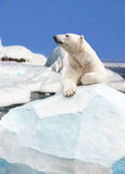 Polar bear. Standing on the ice block royalty free stock images