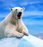 Polar bear. In wildness area against sky royalty free stock photos