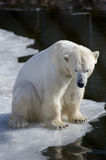 Polar bear. Young and strong polar bear in its territory Stock Images