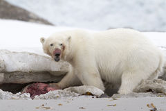 Polar Bear Eating. A seal, Svalbard, Spitsbergen Royalty Free Stock Photography