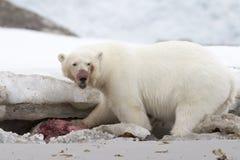 Polar Bear Eating royalty free stock photography