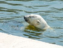 Polar bear. Swimming in the pool. In the summer, sunny day it is hot Stock Photography