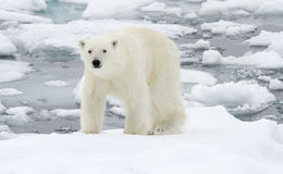 Polar Bear in icy winter landscape. stock photo