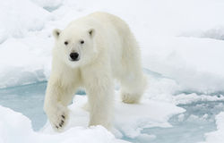 Polar Bear. Polar bear walking on ice sheet, Svalbard, Spitsbergen