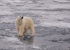 Polar Bear. On the ice, Svalbard 2012 Royalty Free Stock Photography