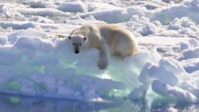 Polar Bear. On the ice, Svalbard 2012 stock image