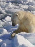 Polar Bear. On the ice, Svalbard 2012 Stock Photos