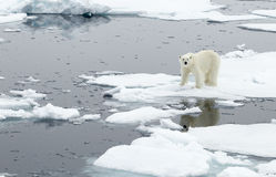 Polar Bear. A polar bear, walking on a flake of ice, in the archipelago of Svalbard royalty free stock image