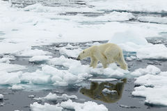 Polar Bear. A polar bear, walking on a flake of ice, in the archipelago of Svalbard stock photo