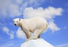 Polar bear. On an ice floe on a background of the blue sky stock photos