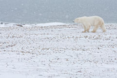 Polar Bear. Walking in snow Stock Images