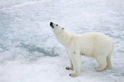 Polar bear. In natural Arctic environment Stock Photos