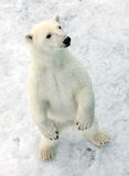 Polar bear Royalty Free Stock Images