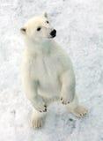 Polar bear. In natural Arctic environment Royalty Free Stock Images