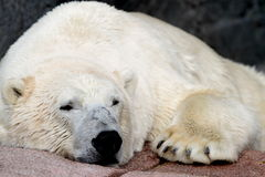 Polar bear. ( Ursus maritimus Stock Photo