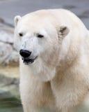 Polar bear. Close-up on polar bear royalty free stock photography
