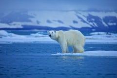 Polar bear. On the floe Stock Photography