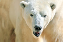 Free Polar Bear Royalty Free Stock Photography - 28004847