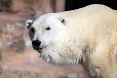 Polar Bear. Up close royalty free stock images