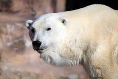 Polar Bear. Up close Royalty Free Stock Images