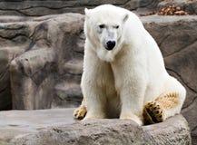Polar Bear. A polar bear resides at the Cleveland Zoo royalty free stock photos