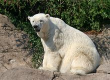 Polar Bear. Sitting on the rock and getting dry after swim stock photos