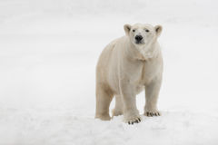 Polar bear. Female polar bear (Ursus maritimus) standing in the snow stock image