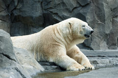 Polar bear. Big polar bear lays on rocky terrain Royalty Free Stock Photography