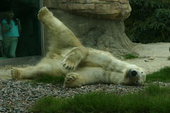 The Polar Bear 3. A polar bear rolling around on the ground royalty free stock image