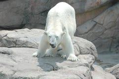 Polar Bear # 3. Polar bear at the zoo royalty free stock images