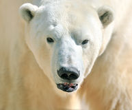 Free Polar Bear Stock Photography - 33735512