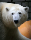 Polar bear. In the Tallinn zoo, Estonia Stock Photography