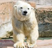 Polar Bear. Large, cute polar bear walking in enclosure at zoo Royalty Free Stock Photo