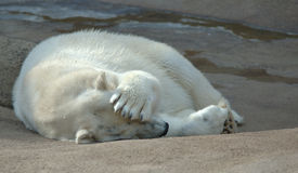 Polar bear. Sleeping polar bear covers his eyes from the sun with his paw Royalty Free Stock Images