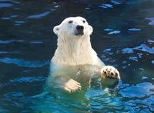 Polar bear. Nice photo of cute white polar bear stock images
