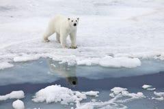 Polar bear. In natural environment royalty free stock image